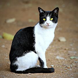 Tom by Pieter J de Villiers - Animals - Cats Portraits