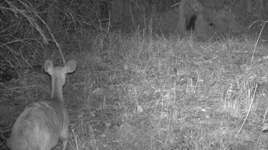 Photo: Bushbuck waiting for porcupine to leave Golungo esperando pela saída do porco-espinho