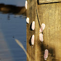 Apple Snail eggs