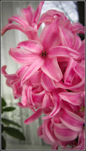 Photo: Zambila  (Hyacinthus orientalis), Calea Victoriei, B15, ap.8 - 2017.02.17