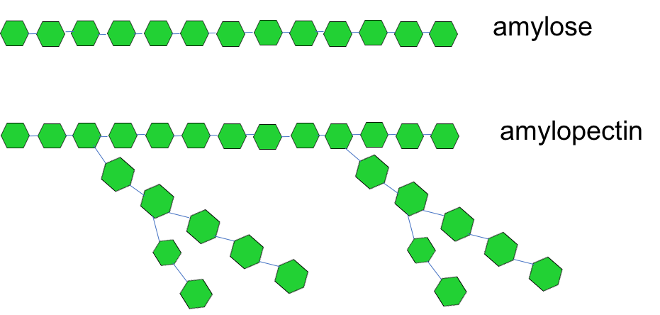 The figure shows simple schematics of two types of starch: amylose and amylopectin. Amylose is depicted as a chain of green hexagons (each representing glucose) linked together. Amylopectin is depicted as a chain of green hexagons with several branch points in it.