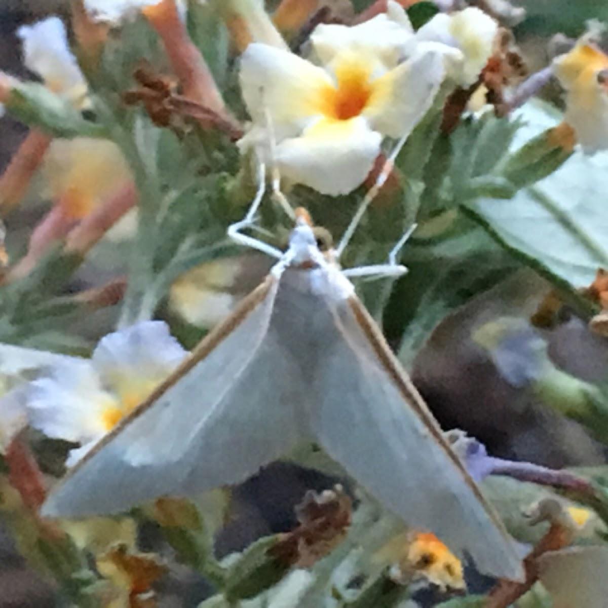 Kimball's palpita moth