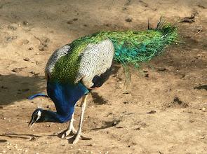 Photo: Blauer Pfau (Peacock, Pavo cristatus) Seine Urheimat ist der indische Subkontinent.