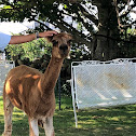 South American Camelid