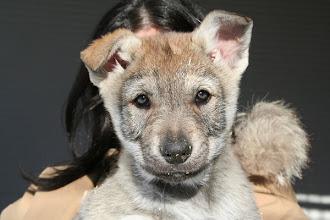 Photo: aida sibillini wolf