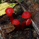 Red Waxgill