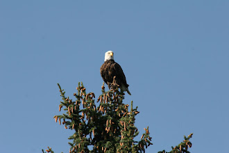 Photo: Bald Eagle in Yellowstone National Park, Wyoming
