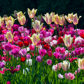 by Keith Sutherland - Flowers Flower Buds ( tulips )