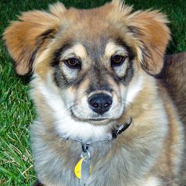 Puppy Love by Myra Brizendine Wilson - Animals - Dogs Portraits ( pets, german shepherd, maggie, maggie stanelle, dogs, canine )