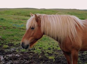 Photo: Islander w Stafafell
