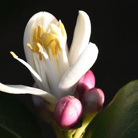 Lemon tree very pretty by Kaz B - Flowers Tree Blossoms