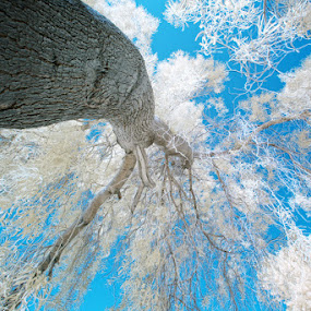 look up... by Myk Malag - Artistic Objects Other Objects ( ir converted camera, ir, infra red, trees )