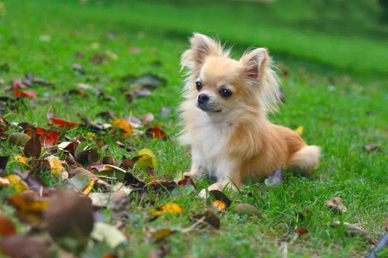 chihuahua backgrounds android apps on google play
