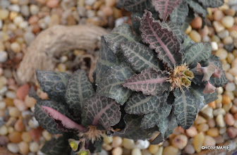 Photo: Euphorbia francoisii crassicaule