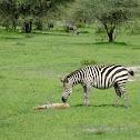Zebra and foal(and herd) w/gnu