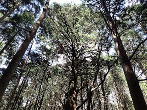 一本杉の大木