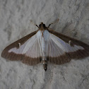 Box Tree Moth