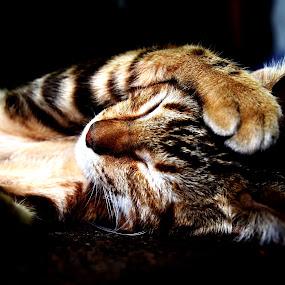 Nice Dream by Gilang Ariefian Gutama - Animals - Cats Kittens ( canon, cat, 60d, sleep )