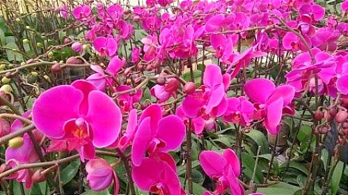Ngỡ ngàng Vườn hoa nhiệt đới Mộc Châu