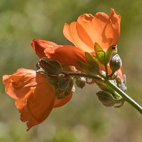 Orange by Patti Reddoch - Flowers Flowers in the Wild