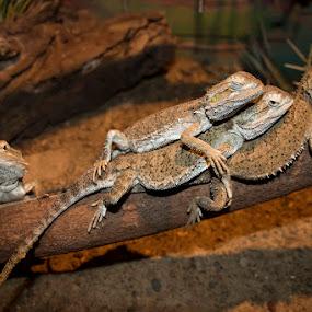 Dwarf bearded dragons by Mel Stratton - Animals Reptiles ( dwarf, lizard, dragons, dwarf bearded dragons, bearded, reptile, lizards,  )