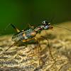 Tree Tiger Beetle