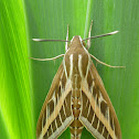 striped hawk-moth