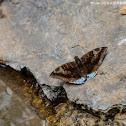 Euthalia phemius 尖翅翠蛺蝶
