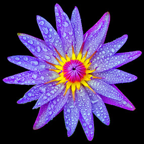 Violet by Charliemagne Unggay - Nature Up Close Flowers - 2011-2013 ( water drops, lily, nature, violet, flower, circle, pwc79 )