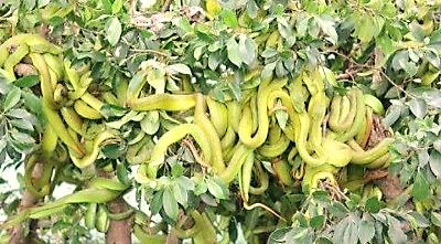 Vì sao rắn lục đuôi đỏ nhiều và nguy hiểm?