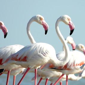 Greater Flamingos by Mainak Adak - Animals Birds ( birds, nature close up, migratory birds, flamingos, wildlife )