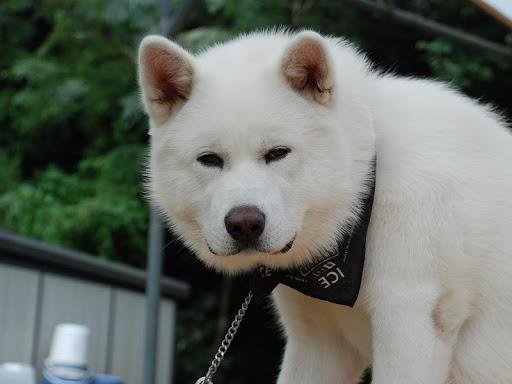 Akita Dog Live Wallpaper