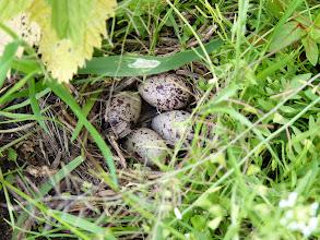 Photo: Killdeer nest
