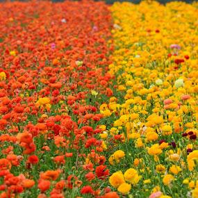 Ranunculus flower field in Carlsbad, Ca by Peter Murnieks - Landscapes Prairies, Meadows & Fields ( field, orange, ranunculus, green, yellow, flowers,  )