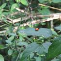 Polished Ladybug