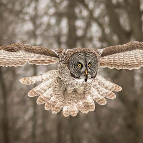 by Jocelyn Rastel-Lafond - Animals Birds ( montreal, quebec, canada, great gray owl, owl, oiseaux, hibou )