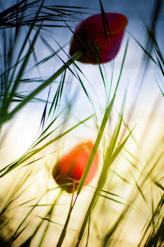 Pennellate d'erba tra i tulipani di Anna Martini