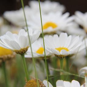 Marguerite Flower by Yola Vandergunst - Nature Up Close Flowers - 2011-2013 ( wild flower, bunga, spring, marguerite )