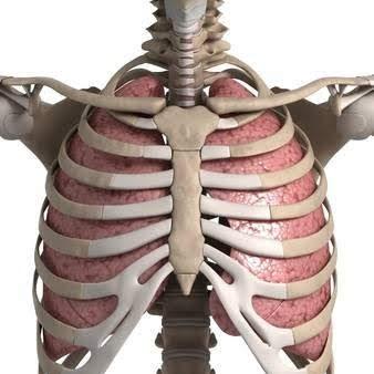 肺と肋骨の画像