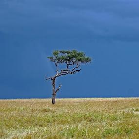 Tree On Serengeti by Tony Murtagh - Landscapes Prairies, Meadows & Fields ( blue sky, tree, grass, serengetti, tanzania, landscapes,  )