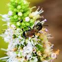 Small carpenter bee