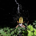 Black-and-Yellow Argiope