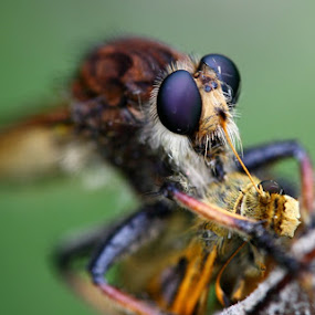Robber Fly and Pray by Forest Wander - Animals Insects & Spiders ( nature, fly, prey, insect )