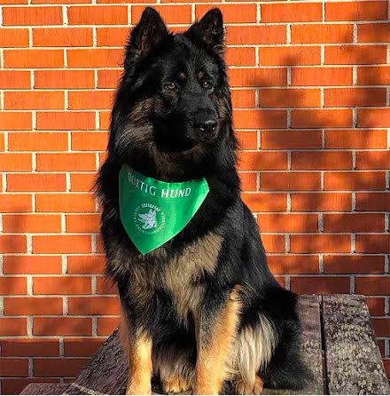 Duktig Hund Scarf grön + diplom 5-pack