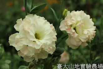 Photo: 拍攝地點: 梅峰-溫帶花卉區 拍攝植物: 重瓣洋桔梗 拍攝日期:2012_08_30_FY