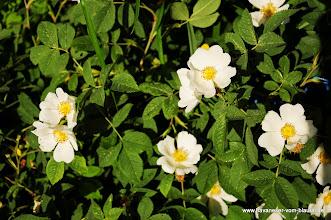 Photo: Einstieg in unsere Rosen, hier die eine der  zwei Wildrosen