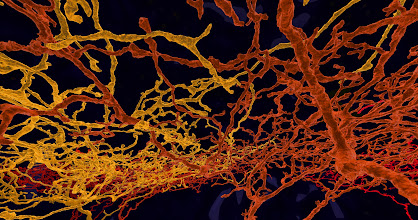 Photo: neuron branches discovered by eyewirers. eyewire.org directionally selective retinal ganglions, style  image: Creative Commons credit: Alex Norton, EyeWire, Seung Lab, MIT