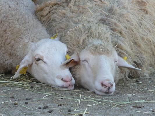 Love sheep di Laucol