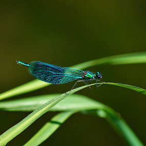 Vážka by Věra Tudy - Animals Insects & Spiders