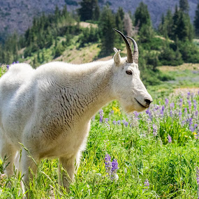 Mountain Goat by Steve Densley - Animals Other ( wildflowers, mountains, mountain goat, wildlife, animal,  )